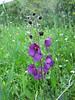 Verbascum phoeniceum (NL: habitat, paarse toorts)