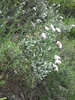 Convolvulus cneorum (NL: zilverwinde)