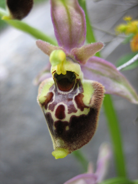 Ophrys scolopax  subs. cornuta
