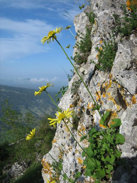 Doronicum columnae (limestone rocks)