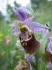 Ophrys apulica (syn. O. fuciflora ssp. apulica)