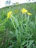 Senecio scopolii subsp. floccosus