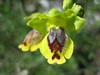 Ophrys lutea?