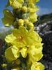 Verbascum thapsus (NL: koningskaars)