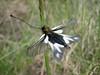 Ascalaphus libelluoides (NL: vlinderhaft)