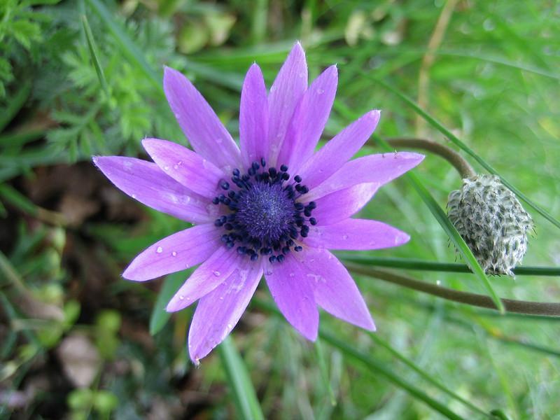 Anemone hortensis (close up flower)