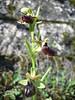 Ophrys sphegodes