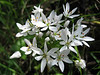 Allium neapolitanum (NL: leliebloemig look)