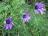 Anemone hortensis (NL: steranemoon)