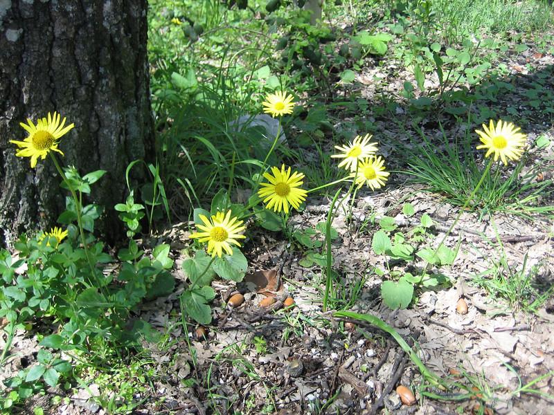Doronicum columnae (NL: hartbladige voorjaarszonnebloem)