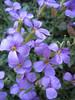Aubrieta columnae subsp. italica
