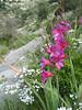 Gladiolus italicus (NL: Italiaanse gladiool)
