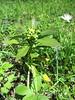Daphne laureola (NL: zwart peperboompje)