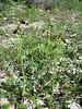 Ophrys bertolonii, (NL: zadel ophrys)