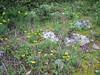 Orchis quadripunctata (NL: vierpuntjesorchis)