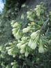 Onosma echioides
