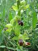 Ophrys fusca ssp. funerea, syn. O. funerea