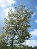 Fraxinus ornus (pluim-of bloem-es)