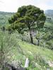 Pinus halepensis (NL: aleppo-den)