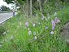 habitat of Orchis italica