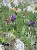 habitat with Orchis papilionacea and Iris bicapitata