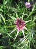 Tragopogon porrifolius (NL: paarse morgenster)