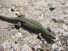 Podarcis sicula (NL: ruïnehagedis)