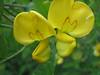 Colutea arborescens (close up flowers)