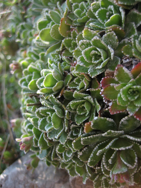 Saxifraga paniculata (Monte Sant Angelo)