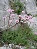 Valeriana tuberosa             (Monte Sant Angelo)
