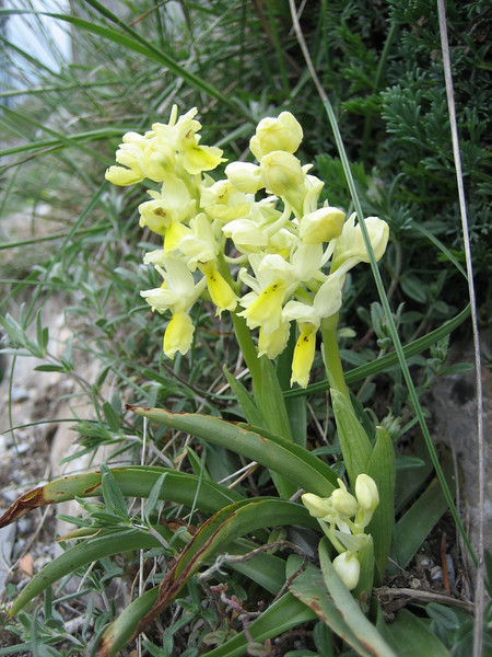 Orchis pauciflora (Monte Sant Angelo)