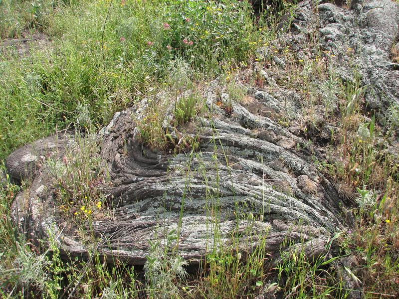 flora on solid lava (Vesuvius, vulcano)