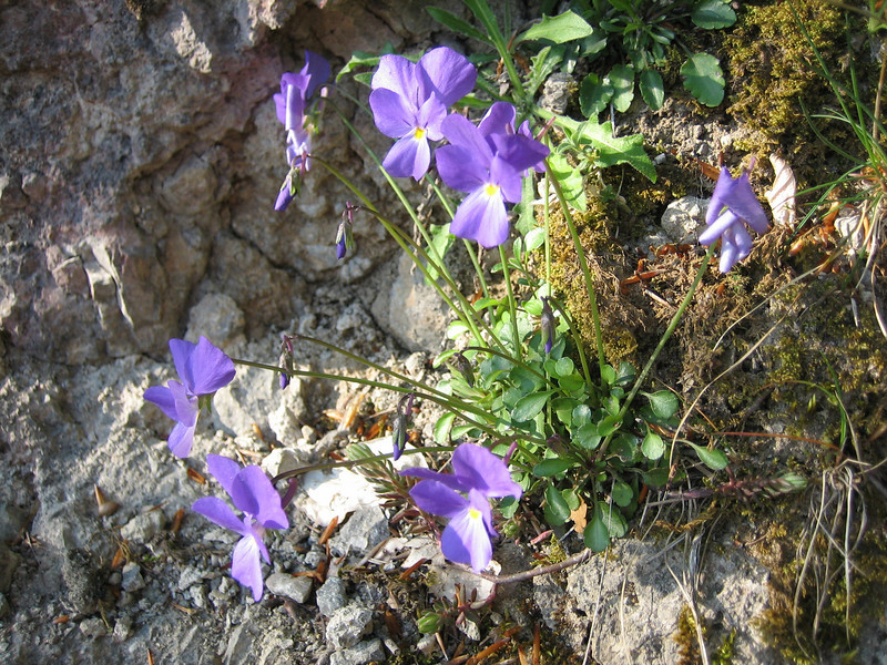 habitat of Viola pseudogracilis or Viola aethnensis ssp. splendida - both are species in the 'calcarata group', the Italian Viola species in this group are very difficult to identify  (Monte Sant Angelo)