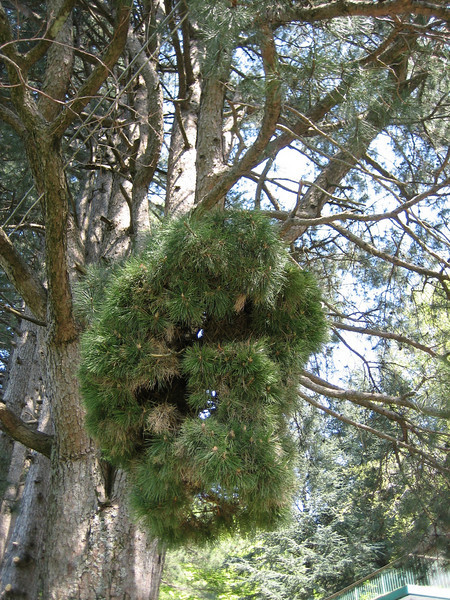 Witches'-broom in Pinus