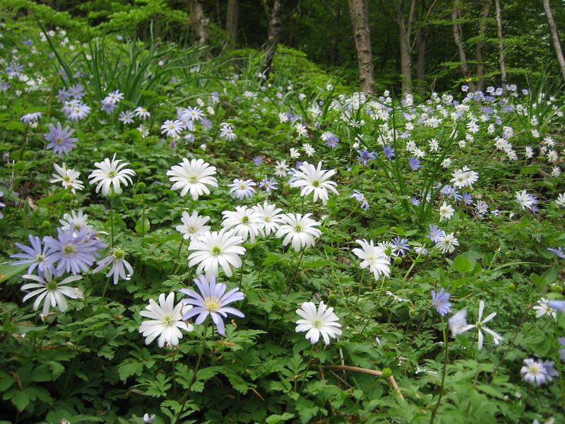 Anemone apennina (NL: blauwe anemoon)