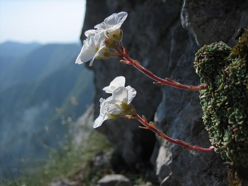 Saxifraga marginata,    (Monte Sant Angelo)