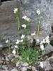 Arabis albida subs.caucasica (Monte Sant Angelo)