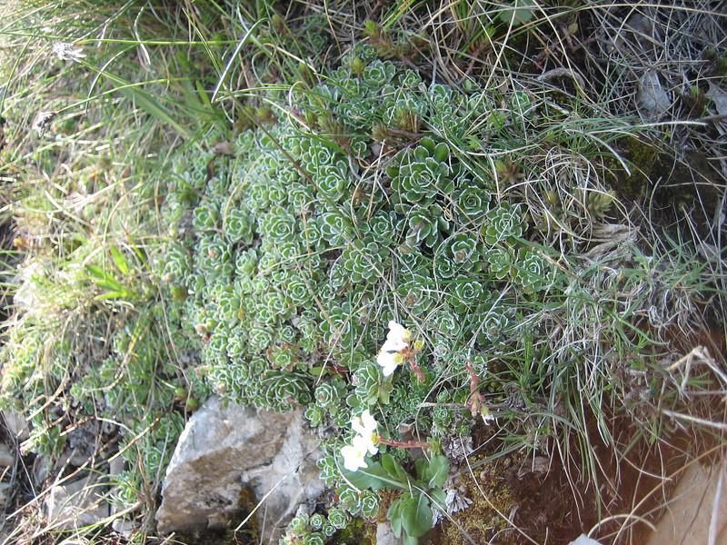 Saxifraga paniculata (NL: immergroene steenbreek, Monte Sant Angelo )