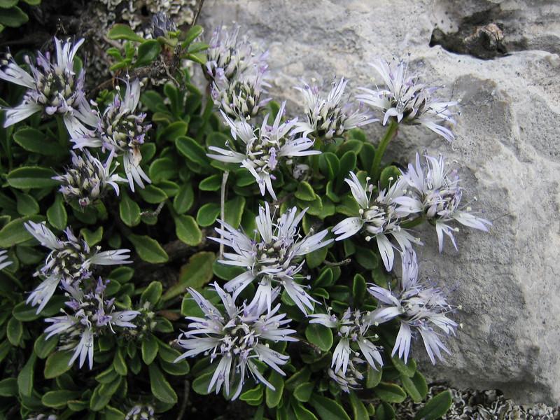 Globularia neapolitana (in flower)