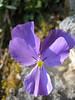 Viola pseudogracilis or Viola aethnensis ssp. splendida (Monte Sant Angelo)
