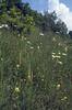 habitat with Leucanthemum vulgare, Rhinanthus alectorolophus (NL: harige ratelaar) and Aceras anthropophorum