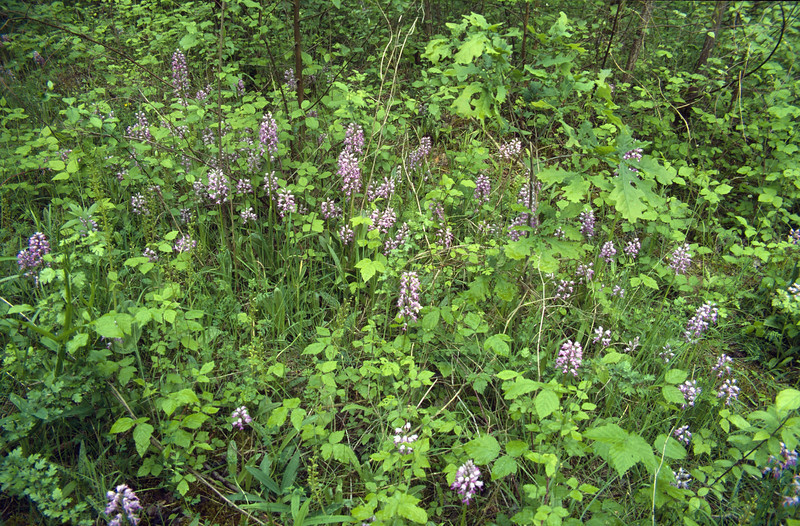 Orchis militaris and Listera ovata