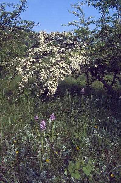 Orchis militaris and Crataegus monogyna (NL: eenstijlige meidoorn)