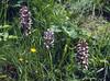Hybride left: Orchis purpurea X Orchis militaris