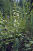 Planthera chlorantha
