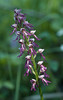 Hybride: Aceras anthropophorum X Orchis militaris ?