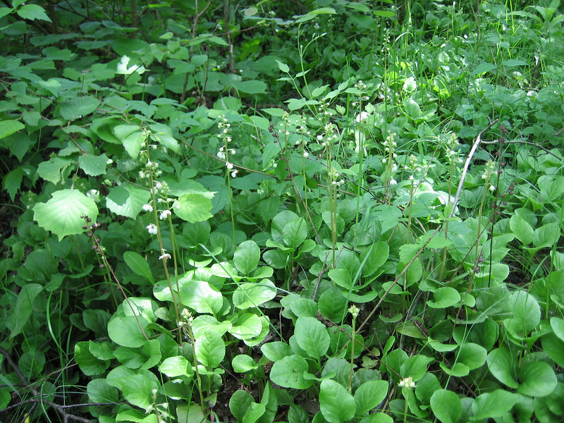 Pyrola rotundifolia (NL: rondbladig wintergroen)