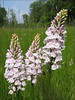 Dactylorhiza maculata (NL: gevlekte orchis)