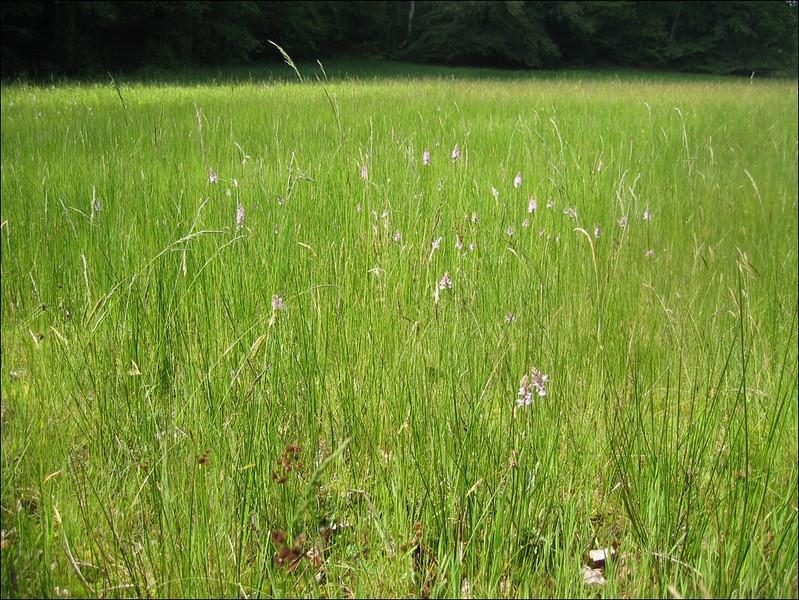 Wet grassland (Habitat Springendal)