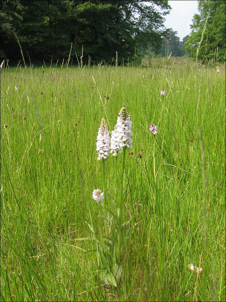 Habitat of Dactylorhiza maculata (het Springendal )